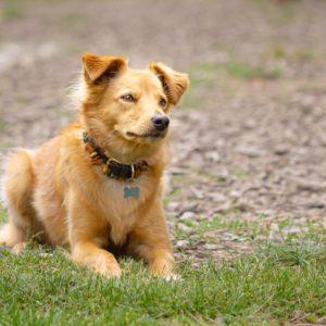 Liegender Hund mit Schmuckhalsband