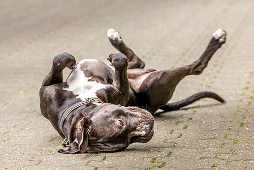 Hund rollt sich auf Boden