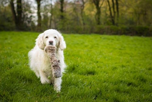 Hund beim Aportieren