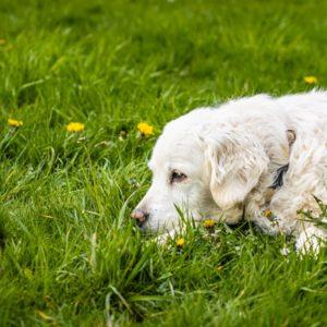 Hund liegt im Gras