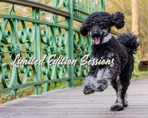 Limited Edition Sessions mit Pudel auf Brücke