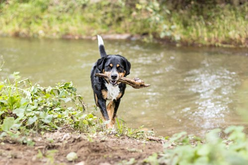 Nasser Hund kommt aus Fluss mit Stöckchen im Maul