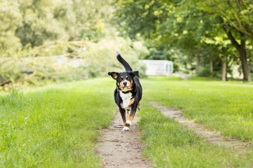 Hund rennt auf Pfad durch Wiese